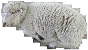 寝ている子羊